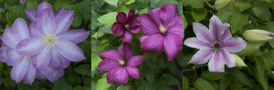 Late Spring Flowering Clematis Vines, in our Malden, MA garden.